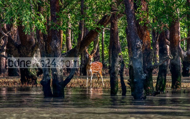 Prof Monirul H Khan of Jahangirnagar University's Zoology Department points to two reasons for the dearth of deer in the area, namely, poaching and diseases. The authorities would easily know if the deer population had shrunk due to diseases. Therefore, it must be the poachers that are keeping the deer away, Prof Monirul believes.