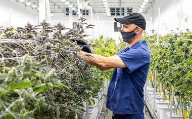 Culta's director of cultivation, Jay Bouton, looks over some of his indoor cannabis plants in Cambridge, Maryland, in April 2020. Handout photo by Jill Jasuta.