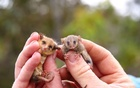 Western pygmy possum (L) and a little pygmy possum are held as conservation efforts continue following last summer's bushfire on Kangaroo Island, Australia December 2, 2020 in this image obtained from social media. Ashlee Benc via REUTERS