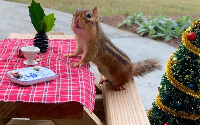 A photo provided by Angela Hansberger shows a chipmunk at a small table with holiday decorations. Enticing wildlife to the backyard, with tiny furniture and elaborate meals, has consoled some Americans in quarantine. Angela Hansberger via The New York Times