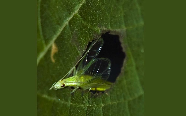 """A photo provided by Rittik Deb shows an Oecanthus henryi, a type of cricket, that uses leaves to amplify its calls to attract mates, a practice called """"baffling."""" The New York Times"""