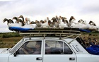 A man carries geese on top of his car as he drives on a highway that leads to the city of Ganja, Azerbaijan October 21, 2020. REUTERS