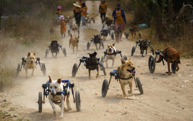 Disabled dogs in mobility aids run during a daily walk at The Man That Rescues Dogs Foundation in Chonburi, Thailand, January 26, 2021. Reuters