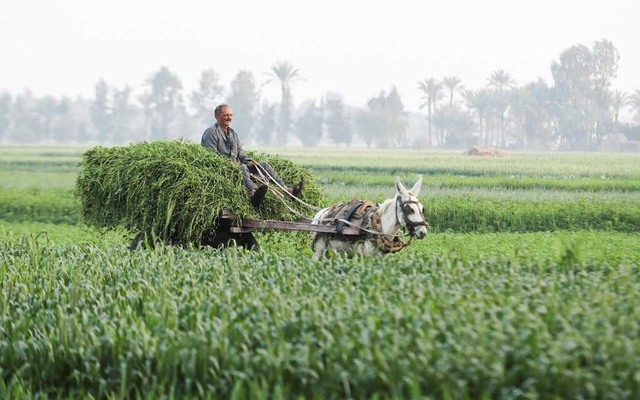 A farmer passes with his cart at a wheat field in El-Dakahlya governorate, Egypt Feb 7, 2021. REUTERS