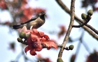 Birds flock to a Shimul tree at Tigerpass in Chattogram as flowers bloom with the advent of spring. Photo: Suman Babu