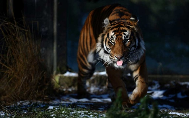 Asim, a male Sumatran tiger is seen at feeding time in the tiger territory enclosure at ZSL London Zoo, as zookeepers continue to tend to thousands of animals whilst the zoo remains closed to the public, amid the coronavirus disease (COVID-19) outbreak in London, Britain, Feb 10, 2021. REUTERS