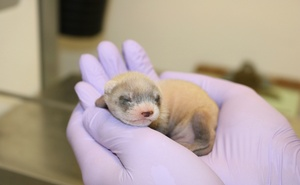 In an undated image provided by Revive & Restore, Elizabeth Ann, the first cloned black-footed ferret, at age three weeks. Her birth represents the first cloning of an endangered species native to North America, and may bring needed genetic diversity to the species. (Revive & Restore via The New York Times)