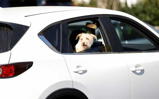 A dog looks out of a car window near the site where Lady Gaga's dog walker was shot and two of the animals were stolen in Los Angeles, California, US, Feb 25, 2021. REUTERS