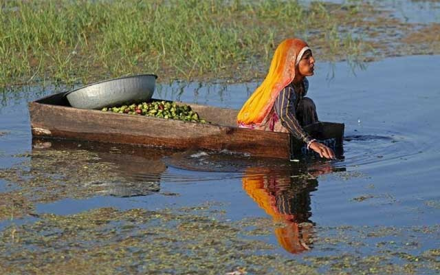 A woman collects water chestnuts, locally known as