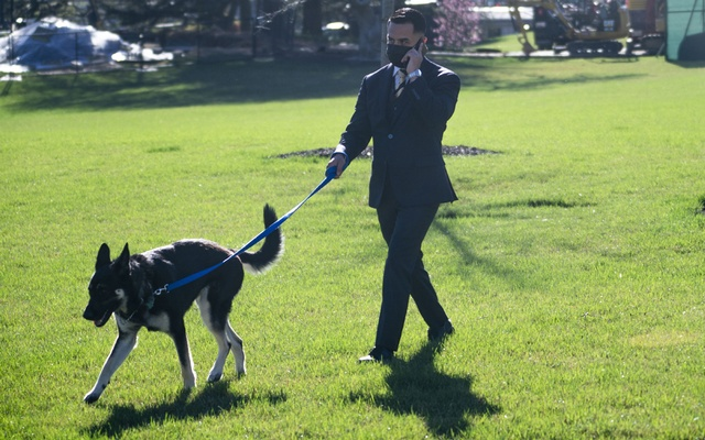 President Joe Biden's dog Major, goes for a walk on the South Lawn of the White House in Washington as Biden prepares to depart with first lady to visit the Vietnam Veterans Memorial in Washington, on Vietnam War Veterans Day, Monday, March 29, 2021. The New York Times