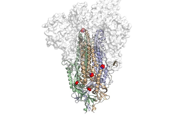 An image provided by the University of Texas at Austin shows the molecular structure of HexaPro, a modified version of the SARS-CoV-2 spike protein, with its six key alterations shown as red and blue spheres. (University of Texas at Austin via The New York Times)