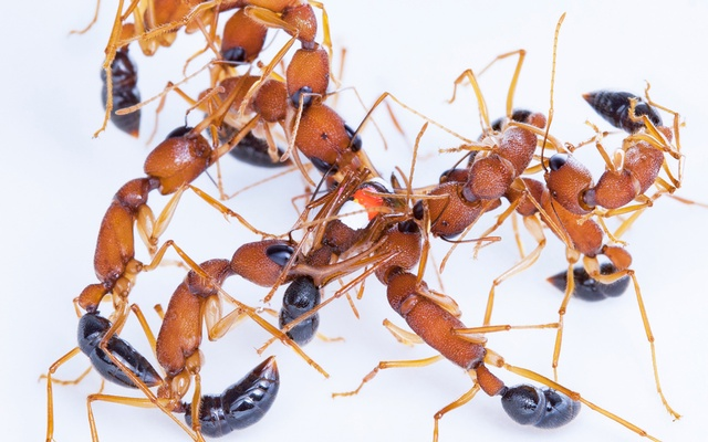In a photo provided by Clint Penick, Indian jumping ants. In a study published in the journal Proceedings of the Royal Society B, scientists found that Indian jumping ants can shrink their brains by nearly 20 percent and enlarge them in a matter of weeks. Clint Penick via The New York Times