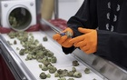 An employee trims cannabis buds in Smiths Falls, Ontario, Canada, Nov 29, 2019. The New York Times