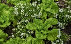 A photo provided by Angelo Merendino shows sweet alyssum (Lobularia maritima), a common annual, and lettuce planted in a garden. Forget whatever you've heard about which plants