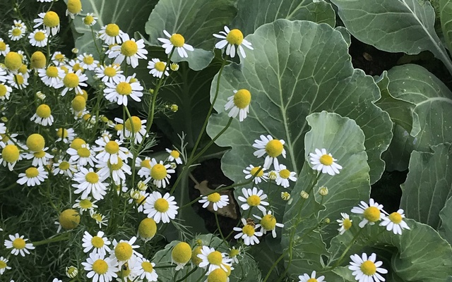 A photo provided by Jessica Walliser shows a garden with chamomile among brassicas. Forget whatever you've heard about which plants
