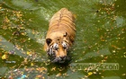 A tiger at Dhaka Zoo takes a dip in the reservoir on Tuesday, April 27, 2021 to ward off the summer heat. Photo: Asif Mahmud Ove