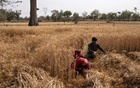 Dayaram Kushwaha and his wife Gyanvati, migrant workers who returned home from New Delhi, harvest wheat during nationwide lockdown in India to slow the spread of the coronavirus, in Jugyai village in the central state of Madhya Pradesh, India, Apr 8, 2020. REUTERS/FILE
