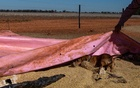 Billy, George Greig's dachshund, hunts for mice under a tarp on the Greig farm in Tottenham, Australia on May 21, 2021. For half a year, rodents have been chewing their way around the Australia's eastern grain belt, leaving economic and psychological scars. (Anna Maria Antoinette D'Addario/The New York Times)