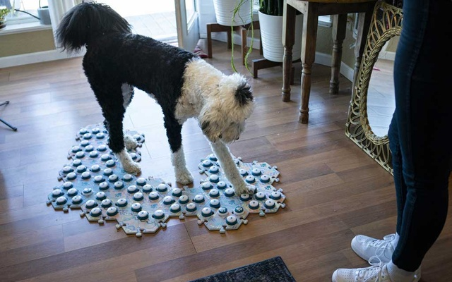 Alexis Devine's dog, Bunny, uses her FluentPet buttons at home in Tacoma, Wash, April 14, 2021. Devine says Bunny has learned 92 words to date. (Ruth Fremson/The New York Times)
