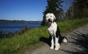 Alexis Devine's dog, Bunny, near their home in Tacoma, Wash., April 14, 2021. The internet-famous sheepadoodle has brought attention to a new area of study within animal cognition: the use of assistive technology for language acquisition. (Ruth Fremson/The New York Times