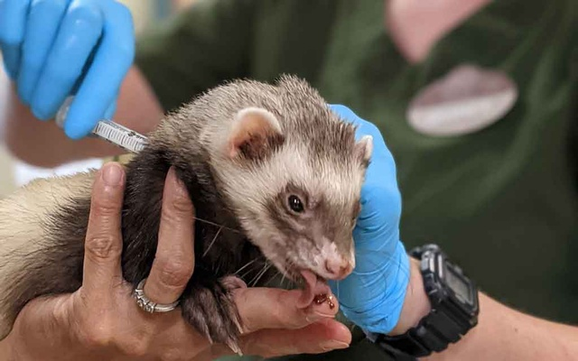 A photo provided by Zoetis/Oakland Zoo shows a staff member at the Oakland Zoo giving a ferret an experimental COVID-19 vaccine. The zoo started this week with bears, mountain lions, tigers and ferrets, the first of about 100 animals that are set to receive an experimental vaccine against the coronavirus over the summer. Zoetis/Oakland Zoo via The New York Times