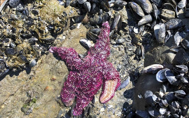 In an undated photo from the University of British Columbia, a dead sea star in West Vancouver, BC, Canada. The New York Times