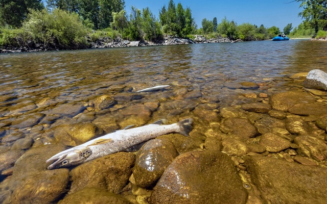 A photo provided by Wade Fellin shows dead trout in the Bitterroot River in Montana. Higher temperatures early in the year, worryingly low river levels, fish die-offs and pressure from anglers yearning to recapture a year lost to the pandemic have swirled into a growing crisis. Wade Fellin via The New York Times