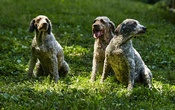 Lagatto Romagnolo dogs, celebrated for their truffle-hunting ability, in Walland, Tenn, July 25, 2016. While most dog breeds can be trained to sniff out prized truffles, this breed are especially apt. The New York Times