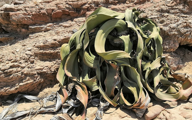 A photo provided by Tao Wen shows a Welwitschia, a two-leafed plant that grows in parts of the Namib Desert in southern Africa, which can live for more than 1,000 years. Events in the genome of Welwitschia have given it the ability to survive in the unforgiving desert for thousands of years. (Tao Wen via The New York Times)