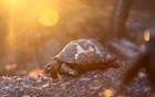 The remains of a burned turtle lay in an area scorched by a forest fire that spread to the town of Manavgat, 75 km east of the resort city of Antalya, Turkey, July 28, 2021. REUTERS