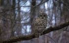 The barred owl, known as Barry, in New York's Central Park, Jan 31, 2021. Barry the Barred Owl, whose majestic presence and unusually extroverted demeanour made her a beloved Central Park celebrity, died early Friday in a collision with a Central Park Conservancy maintenance vehicle. Photo: Dave Sanders/The New York Times