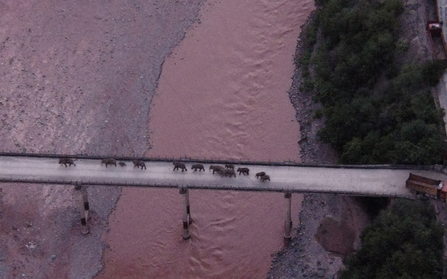 An aerial view shows a herd of wild Asian elephants crossing the Yuanjiang River in Yuanjiang county of Yuxi, Yunnan province, China August 8, 2021. The elephants are on their way back to their traditional habitat, according to provincial officials. China Daily via REUTERS