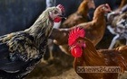 The Bangladesh Livestock Research Institute says the flavour of the 'multi-colour table chicken' is comparable to that of domestic poultry. Photo: Mahmud Zaman Ovi