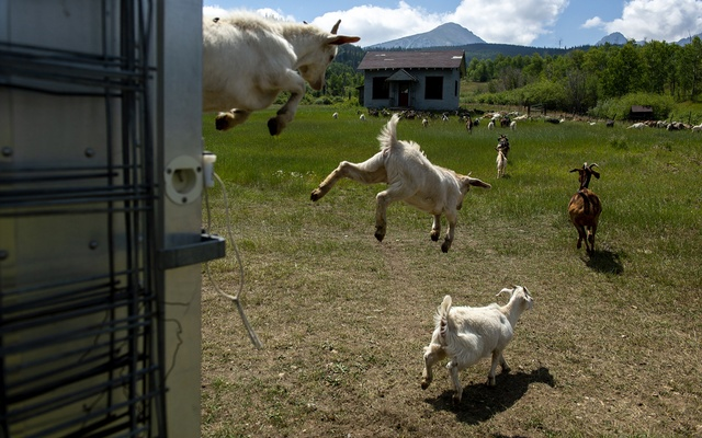 Nomadic goat herder Lani Malmberg's goat leap into action in Silverthorne, Colo, Aug 23, 2021. Malmberg, a pioneer in using the animals to restore fire-ravaged lands to greener pastures and make them less prone to the spread of blazes, travels the American West with a hundreds ever-hungry goats. Amanda Lucier/The New York Times