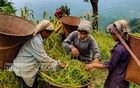 Farmers prepare to carry harvested paddy from a Jhum field to a shed at Jaminipara on Bandarban's Chimbuk Hill. Photo: U She Thowai Marma