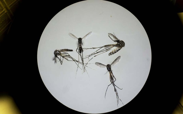 The Aedes aegypti mosquito in San Juan, Puerto Rico on Feb. 24, 2016. It is an invasive species that has been found across much of California. (Victor J. Blue/The New York Times)