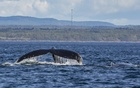 """A humpback whale in the St Lawrence River near Tadoussac, Quebec, Canada, Sept. 18, 2021. Recalling a prepandemic trip to a watery landscape in Quebec province: """"The adventure we had feels like one plucked from a world I can no longer reach, not unlike watching the water, waiting for a whale to crest."""" The New York Times"""