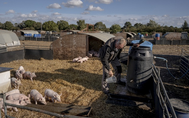 Simon Watchorn feeds piglets at his pig farm near Bungay, England, Oct 3, 2021. Watchorn is convinced that Brexit is responsible for the current distress. The New York Times