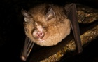 An undated photo provided by Kevin K. Caldwell, shows a least horseshoe bat, Rhinolophus pusillus, one of three species of horseshoe bat observed in a recent study. Coronaviruses discovered in Laotian bats are surprisingly adept at infecting human cells, showing that such deadly features can indeed evolve outside of a lab. (Kevin K. Caldwell via The New York Times)