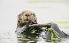 A photo provided by Kiliii Yüyan of a southern sea otter grooming in waters of the lower Elkhorn Slough in California. While conservationists were working diligently to restore damaged sea grass meadows elsewhere in the world's oceans, it seemed ironic that in northern Vancouver Island's sea grass habitat, which is much healthier than others in the world, the furry floaters would swoop in and dig for clams, dislodging the aquatic vegetation. Kiliii Yüyan via The New York Times