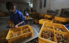Workers vaccinate chicks with the H9 bird flu vaccine at a farm in Changfeng county, Anhui province, Apr14, 2013. REUTERS