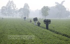 Workers carry tea at a plantation in Panchagarh on a foggy morning with winter about to set in. Photo: Asif Mahmud Ove